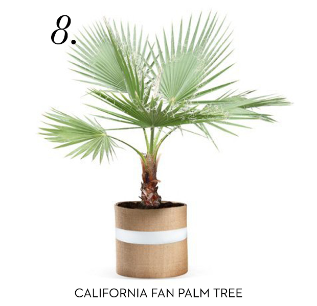 california-fan-palm-tree